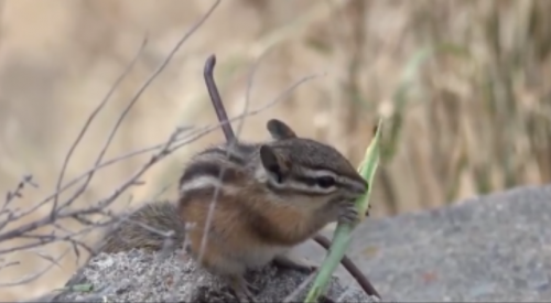 VIDEO: WildSafeBC Kamloops shows us just how athletic a pine chipmunk really is